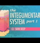 The Integumentary System, Part 1 – Skin Deep: Crash Course A&P #6
