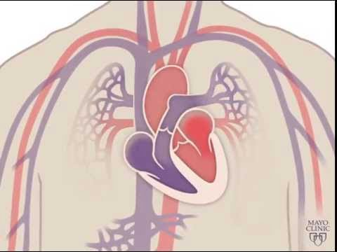 The Heart and Circulatory System – How They Work